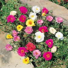 100 PORTULACA MOSS ROSE MIXED COLORS Flower Seeds +Gift
