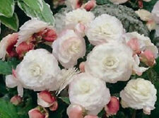 15 Appleblossom Nonstop Begonia Pelleted Seeds
