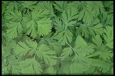 423003 Leaves Of Dutchman's Breeches A4 Photo Texture Print