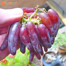 Finger Grape Seed Advanced Fruit Seed Natural Growth Grape Delicious Fruit Plant