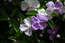 4 graines HIER AUJOURD'HUI DEMAIN(Brunfelsia Latifolia)H457 KISS ME QUICK SEEDS
