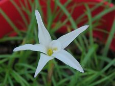 Rain Lily, Zephyranthes Mali, 2 bulbs, NEW, RARE, habranthus