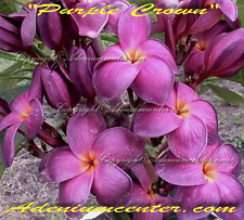 "NEW PLUMERIA RUBRA FRANGIPANI "" PURPLE CROWN "" 10 SEEDS FRESH  FREE SHIPPING"
