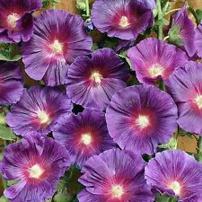 50+ Purple Hollyhock Flower Seeds / Alcea / Perennial