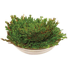 STRIKING ROSE OF JERICHO DINOSAUR PLANT AIR FERN SPIKE MOSS RESURRECTION PLANTS