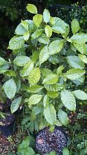 Psychotria alba - One Fresh Leaf Cutting - Chacruna Species - Ayahuasca