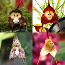 5 Novelty Mix Monkey Face Orchid Flower Seeds Cream Colorful Decor Home Plant a