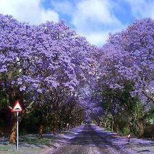 100 Jacaranda Mimosifolia Royal Empress Tree Flower Seeds Fast Growing Anywherel
