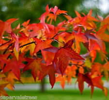 Liquidambar styraciflua, Sweet Gum tree grown in peat free compost3L Liquidamber