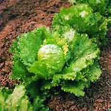 LETTUCE, ICEBERG, LARGE HEAD,  HEIRLOOM, ORGANIC 25+ SEEDS, SWEET CRISP LETTUCE