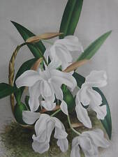 Linden Lindenia Large Print Orchid Coelogyne cristata - 1888