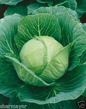 HYBRID CABBAGE 30 SEEDS  (Vegetable seeds)