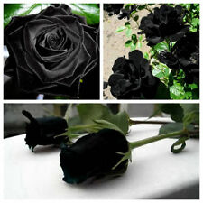 100Pcs Mysterious Black Rose Flower Rare Seeds Decor Plant Garden Seeds Gift