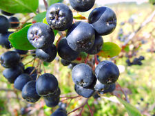 BLACK CHOKEBERRY - 40 seeds - Aronia Melanocarpa - SHRUB