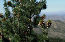 100 Pinyon Pine Nut Seeds ~ Sustainably Raised Pinus Edulis Gourmet Food Tree