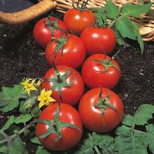 Tomato - Harbinger - 75 Seeds