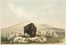 George Catlin's Indian Gallery: Buffalo and White Foxes - Fine Art Print
