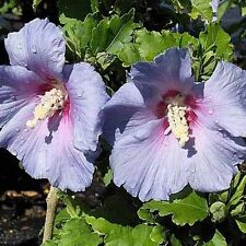"30 BLUE MARLIN  ROSE OF SHARON SEEDS - Hibiscus syriacus  "" blue marlin """