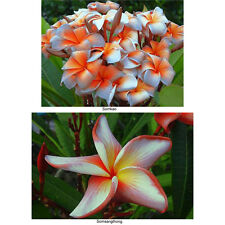 """""""SET 2 CUTTING"""" FRAGRANT PLUMERIA 7-12 INCHES HAVE ROOTED WITH CERTIFICATED"""