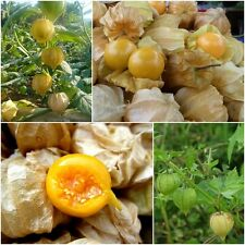 Cape Gooseberry 200 Seeds, Physalis Peruviana, Giant Poha Berry, Ground Cherry
