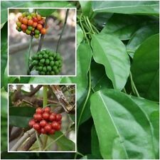 Tiliacora triandra 50 Seeds Yanang Herbs Seeds Exotic Jello Plant+Gift-Tracking