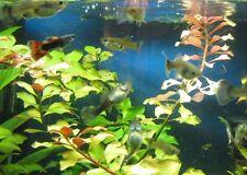 Lot of 12 Fancy Guppies - 3 Males & 9 Females