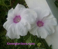 Morning Glory Japanese Nil Orihime Vega Star 8 seeds