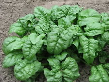 1200 Giant Noble Spinach Spinacea Oleracea Vegetable Seeds - COMB S/H