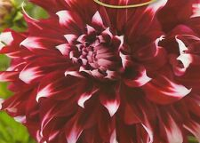 Pack x1 Dinnerplate Dahlia Special X-Factor WPC Prins Quality Bulb/Tuber