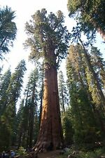 10 GIANT SEQUOIA TREE SEEDS- Sierra Redwood, FRESH LARGEST