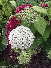 + 150 Graines Ammi Fleurs Jardin & Bouquet (Ammi) Bishop Flower Samen Seeds