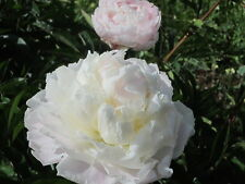 White Peony/paeonia plant 'Shirley Temple' 2/3 eyes bare root Shipping Fall 2016