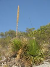 Dasylirion miquihuanense - Grass Tree - 10 Fresh Seeds