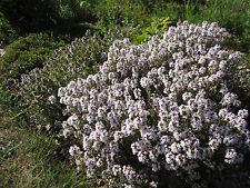 Vero timo bio 1000 semi de-öko-003 Thymus vulgaris