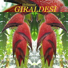 ~Heliconia GIRALDESI~ FURRY LOBSTER CLAW Collector Rare Species 5 Seeds