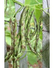 RATTLESNAKE BEAN SEEDS (POLE TYPE) - 30 FRESH HEIRLOOM SEEDS - NON-GMO