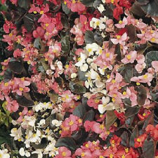 Begonia Seeds Cocktail mix Pelleted Seeds flower seeds 200 BULK SEEDS