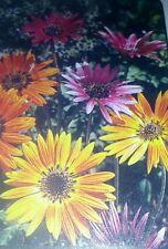 African Daisy Flower Seeds