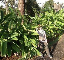 Schnellwüchsige Riesenpalmen: Japanische Faser-Banane