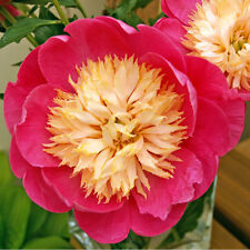 Peony/paeonia plant 'bowl of love' 3/5 eye bare root Shipping Now