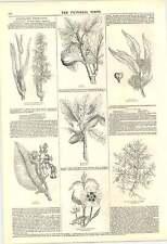 1846 Bible Herbs Calamus Fig Manna Ladanum