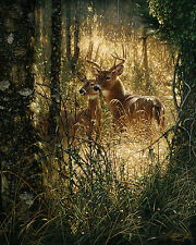 A Golden Moment by Collin Bogle Animals Deer Nature Wildlife Print Poster 16x20
