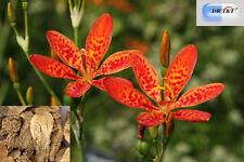 100g hierba seca que gan / Blackberry Lily Rizoma