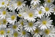 """25 splendidi ANEMONE blandá """"splendore"""" per semina estiva (spedizione gratuita)"""