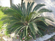 Cycas revoluta - The Sago Palm - 5 Large Fresh Seeds