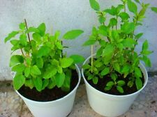 "HOLY BASIL "" SEEDS THAI QUALITY SEED  4,000 Seeds  From Thailand"