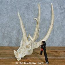 #15442 E   Whitetail Deer Taxidermy Antler Shed For Sale