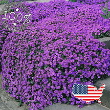 50 Aubrieta ROCK CRESS Seeds 🌺 PURPLE GROUNDCOVER 🌺 Cascading Perrenial  USA