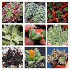 Faucaria Species Mix 10 seeds * Succulent * easy grow *  C74