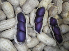 Carolina Black Peanut Seeds 4g ~5-8 Peanuts Non-GMO Rare 1800's Heirloom Purple
